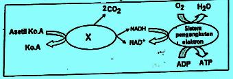 Katabolisme glukosa
